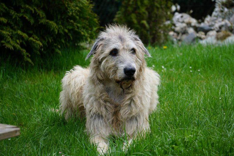 Pies Wilczarz Irlandzki