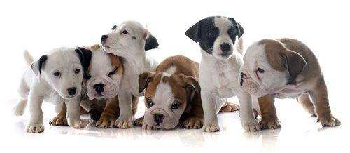 Bulldog Jack Russell Terrier szczeniaki