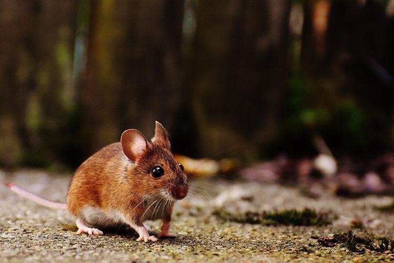 Mysz zwierzęta laboratoryjne