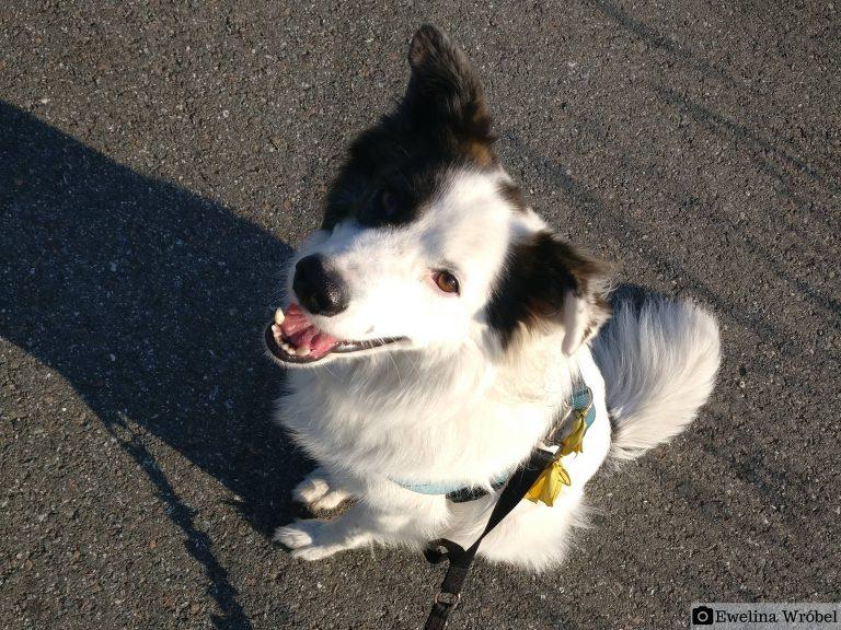 Biały pies żółta wstążka